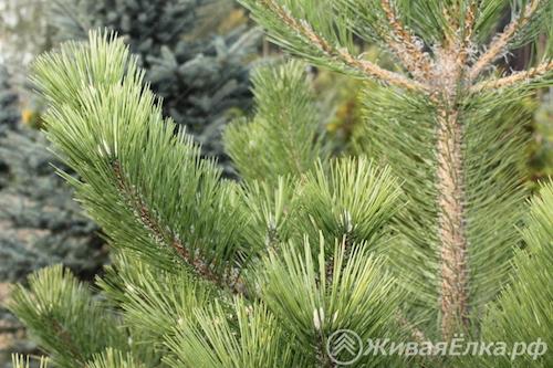 Купить живую елку недорого, доставка, самовывоз